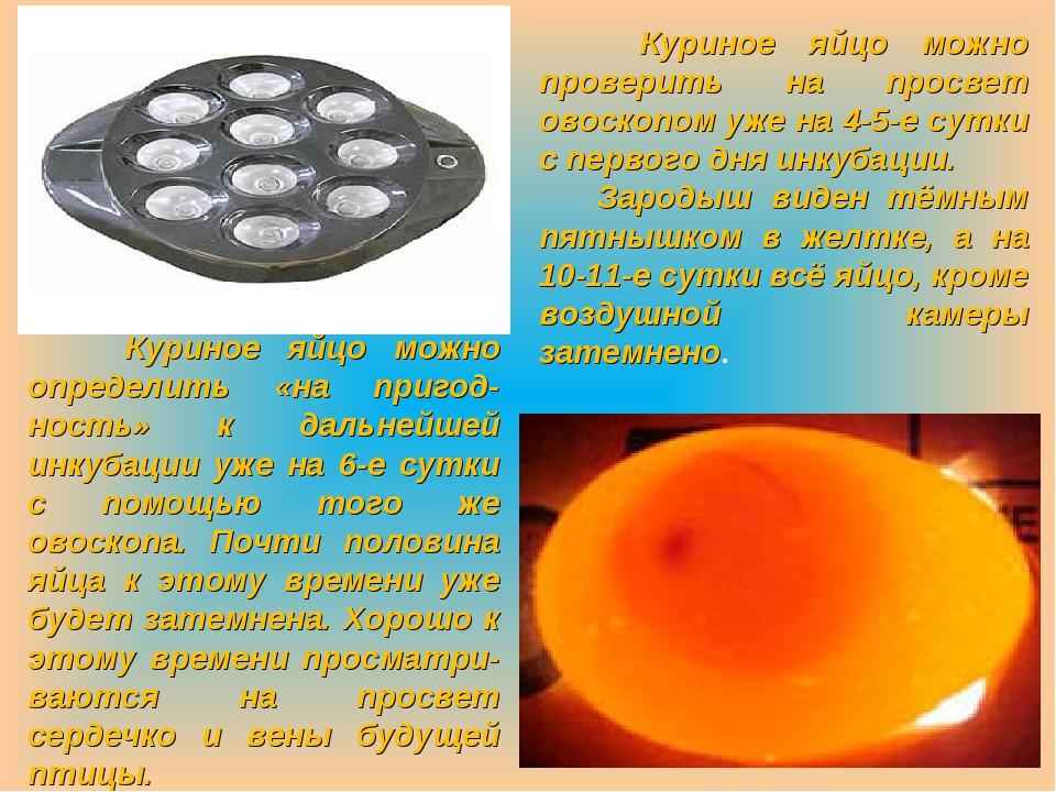 Куриное яйцо можно определить «на пригод-ность» к дальнейшей инкубации уже н...