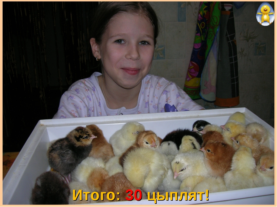 Итого: 30 цыплят!