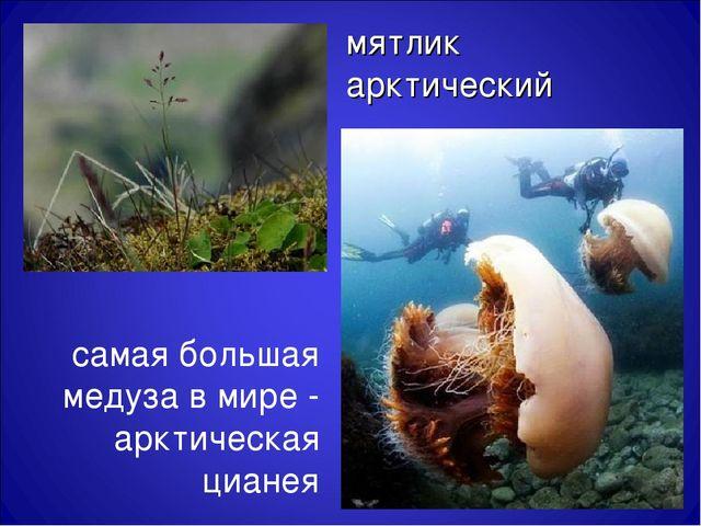 мятлик арктический самая большая медуза в мире - арктическая цианея