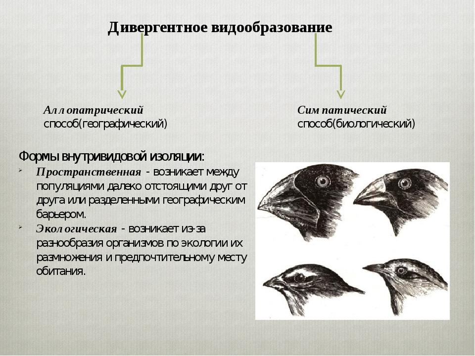 Дивергентное видообразование Аллопатрический способ(географический) Симпатиче...