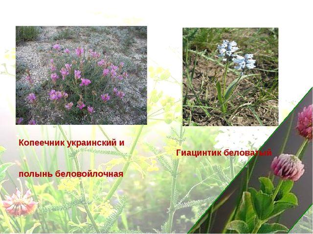 Копеечник украинский и полынь беловойлочная Гиацинтик беловатый