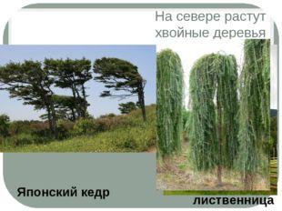 На севере растут хвойные деревья лиственница Японский кедр