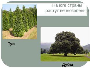 На юге страны растут вечнозелёные Дубы Туи