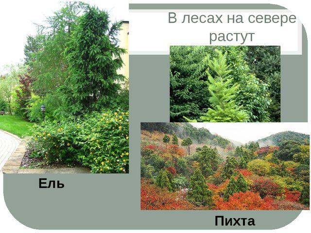 В лесах на севере растут Пихта Ель