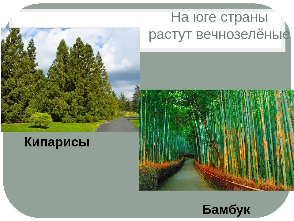 На юге страны растут вечнозелёные Бамбук Кипарисы