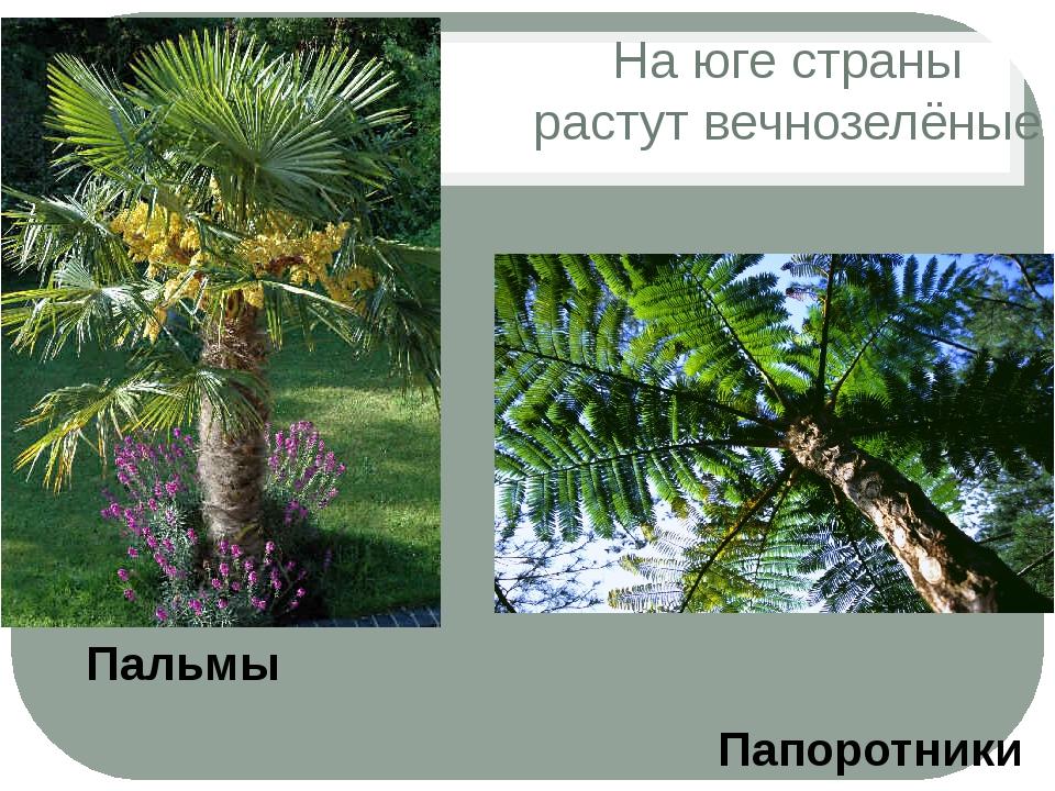 На юге страны растут вечнозелёные Папоротники Пальмы