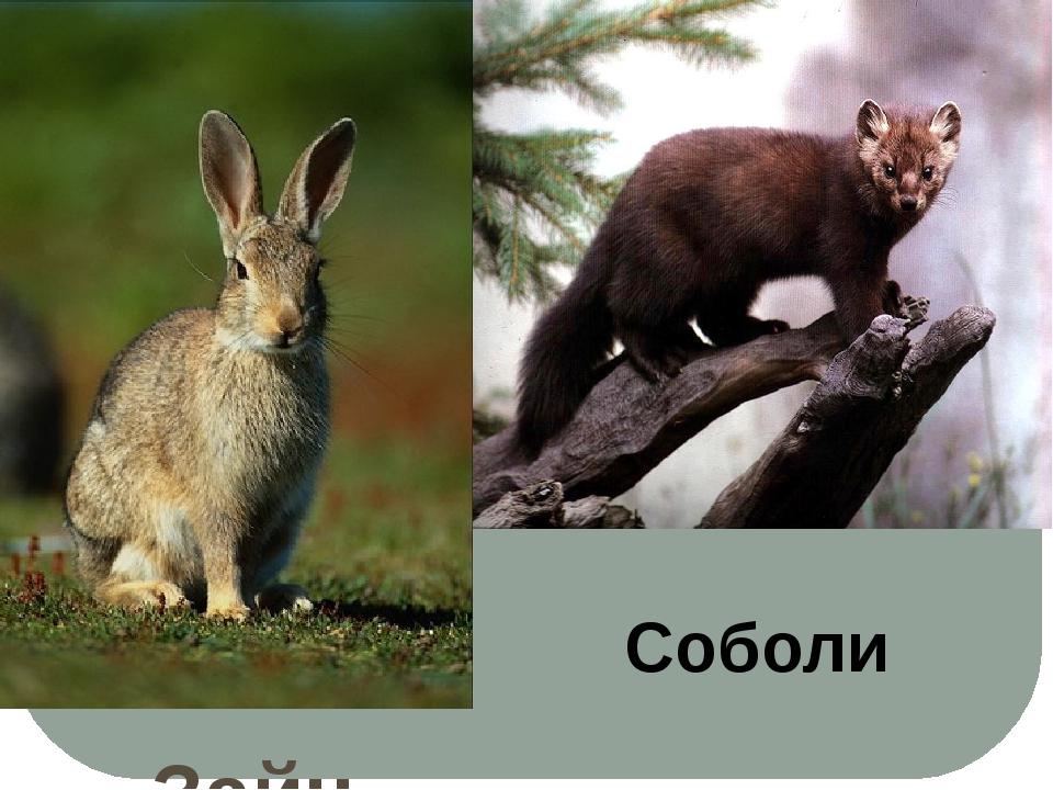 Зайцы Соболи