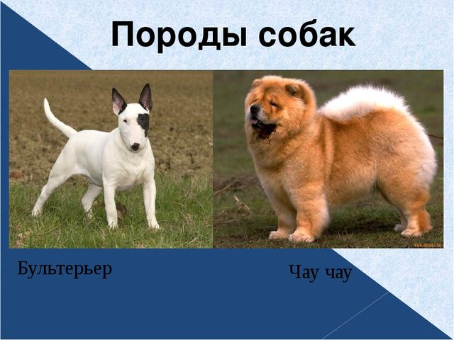 Породы собак Чау чау Бультерьер