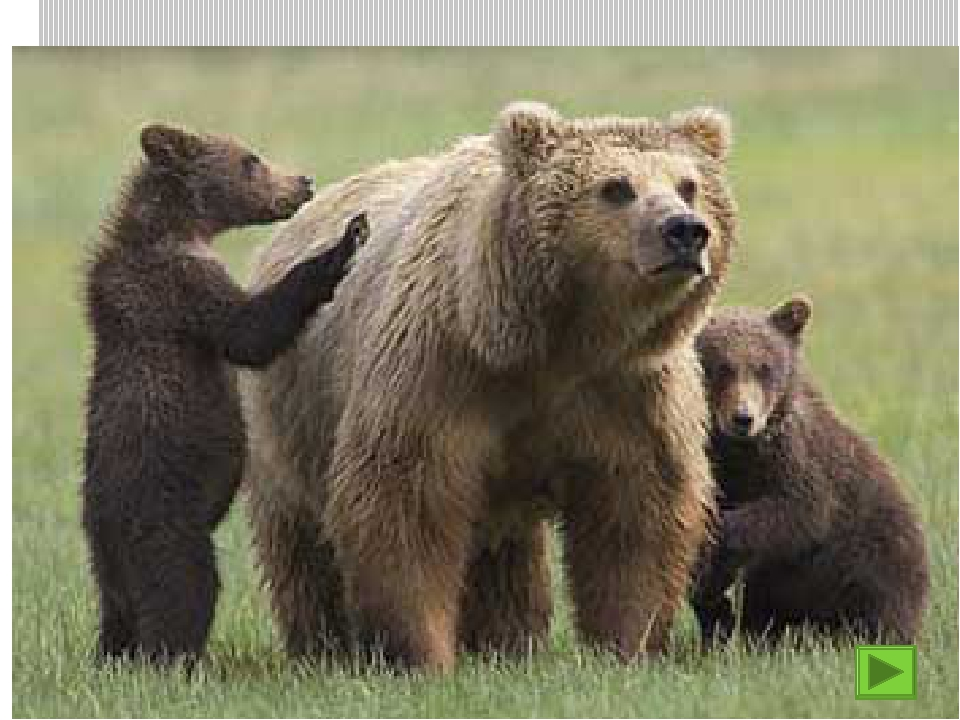 Медведица рычит у берлоги.