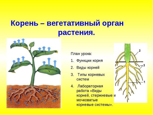 Корень – вегетативный орган растения. План урока: Функции корня Виды корней Т...