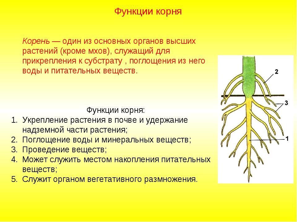 Корень — один из основных органов высших растений (кроме мхов), служащий для...