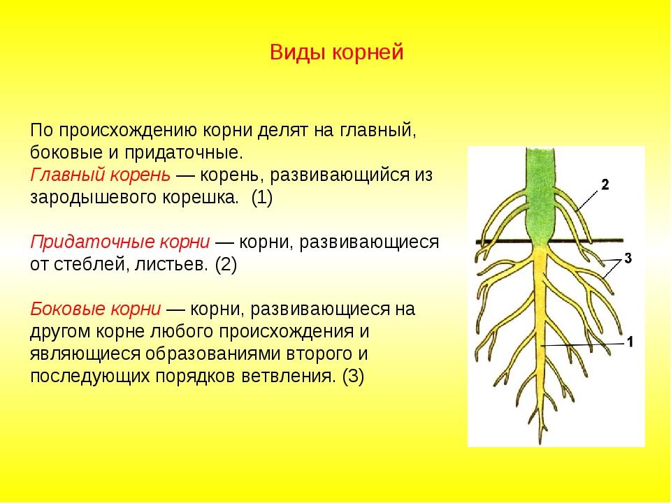 По происхождению корни делят на главный, боковые и придаточные. Главный корен...