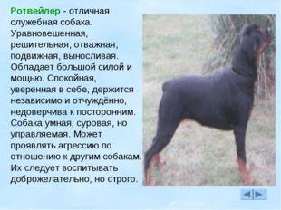Ротвейлер - отличная служебная собака. Уравновешенная, решительная, отважная,