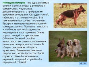 Немецкая овчарка - это одна из самых смелых и умных собак, а возможно и самая