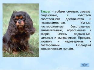 Таксы – собаки смелые, ловкие, подвижные, с чувством собственного достоинства