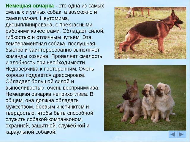 Немецкая овчарка - это одна из самых смелых и умных собак, а возможно и самая...