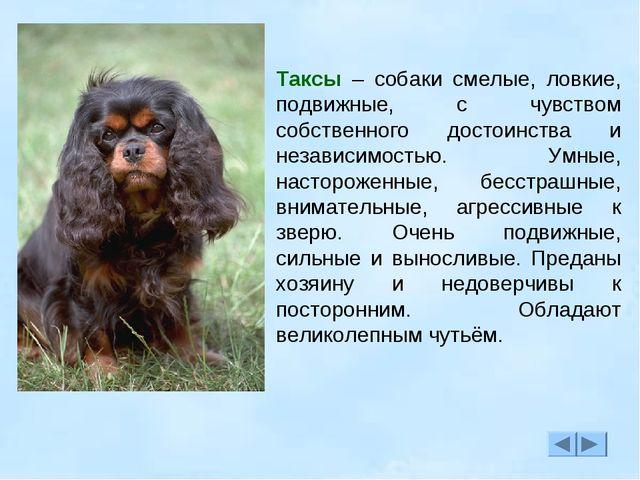 Таксы – собаки смелые, ловкие, подвижные, с чувством собственного достоинства...