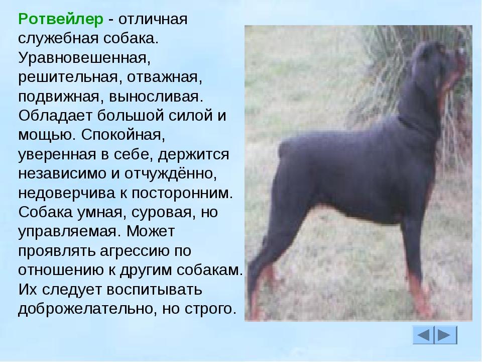 Ротвейлер - отличная служебная собака. Уравновешенная, решительная, отважная,...