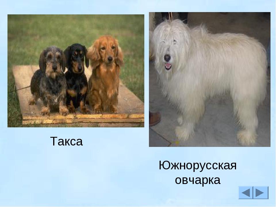 Южнорусская овчарка Такса