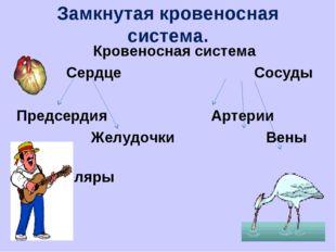 Замкнутая кровеносная система. Кровеносная система Сердце Сосуды Предсердия А
