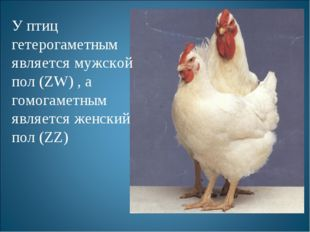 У птиц гетерогаметным является мужской пол (ZW) , а гомогаметным является жен
