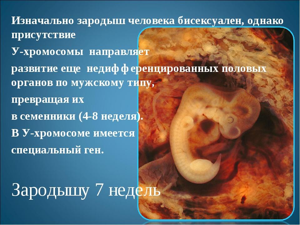 Изначально зародыш человека бисексуален, однако присутствие У-хромосомы напра...