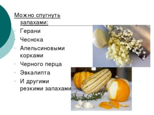 Можно спугнуть запахами: Герани Чеснока Апельсиновыми корками Черного перца Э