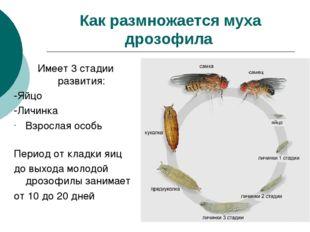 Как размножается муха дрозофила Имеет 3 стадии развития: -Яйцо -Личинка Взрос