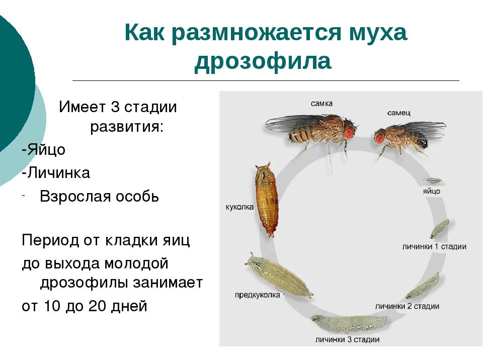 Как размножается муха дрозофила Имеет 3 стадии развития: -Яйцо -Личинка Взрос...