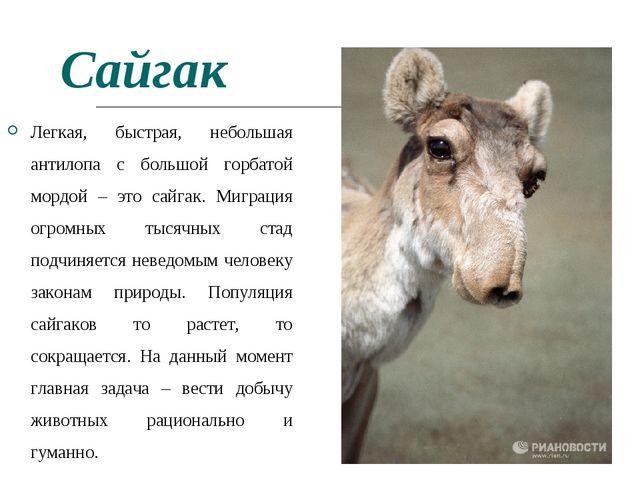 Сайгак Легкая, быстрая, небольшая антилопа с большой горбатой мордой – это са...