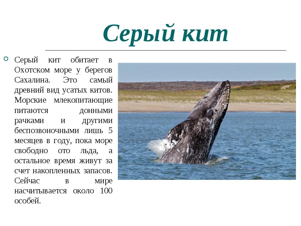Серый кит Серый кит обитает в Охотском море у берегов Сахалина. Это самый дре...