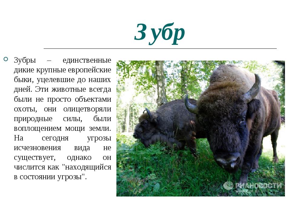 Зубр Зубры – единственные дикие крупные европейские быки, уцелевшие до наших...