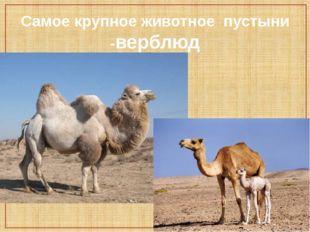 Самое крупное животное пустыни -верблюд