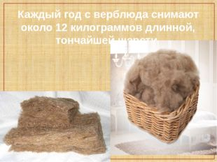 Каждый год с верблюда снимают около 12 килограммов длинной, тончайшей шерсти.