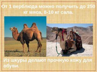 От 1 верблюда можно получить до 250 кг мяса, 8-10 кг сала. Из шкуры делают пр