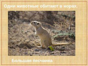 Одни животные обитают в норах. Большая песчанка