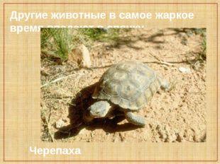 Другие животные в самое жаркое время впадают в спячку Черепаха