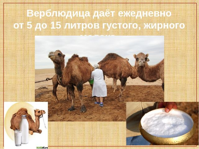 Верблюдица даёт ежедневно от 5 до 15 литров густого, жирного молока.