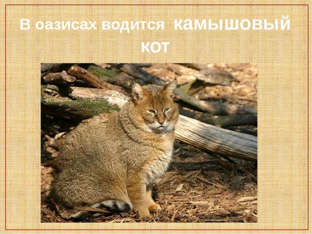 В оазисах водится камышовый кот