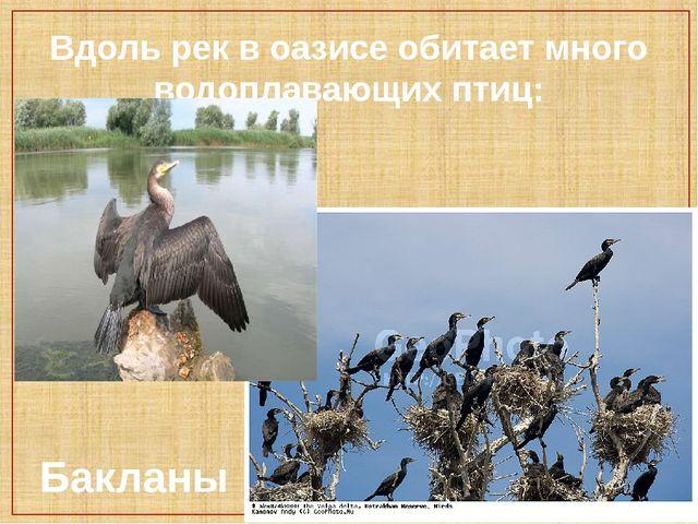 Вдоль рек в оазисе обитает много водоплавающих птиц: Бакланы