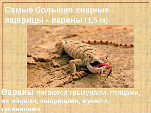 Самые большие хищные ящерицы - вараны (1,5 м) Вараны питаются грызунами, пти...