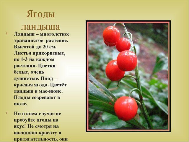 Ягоды ландыша Ландыш – многолетнее травянистое растение. Высотой до 20 см. Ли...
