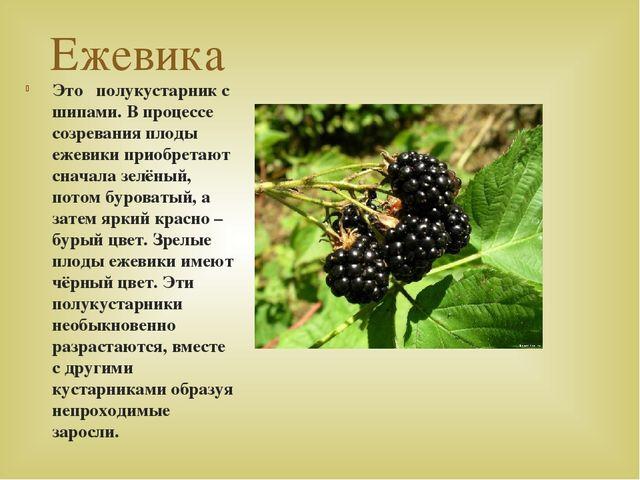 Ежевика Это полукустарник с шипами. В процессе созревания плоды ежевики приоб...