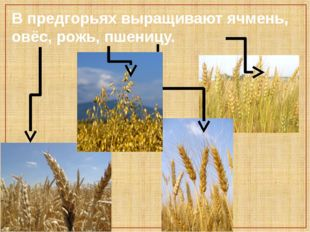 В предгорьях выращивают ячмень, овёс, рожь, пшеницу.