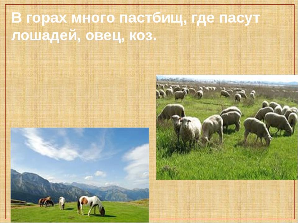 В горах много пастбищ, где пасут лошадей, овец, коз.