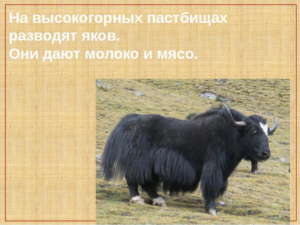На высокогорных пастбищах разводят яков. Они дают молоко и мясо.