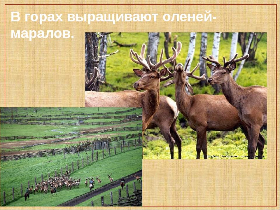 В горах выращивают оленей-маралов.