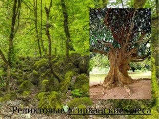 Реликтовые «гирканские» леса