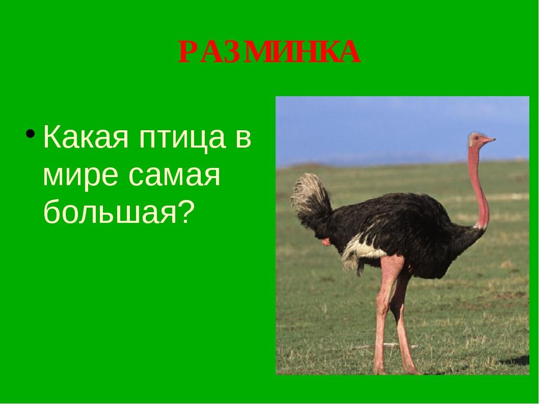 РАЗМИНКА Какая птица в мире самая большая?