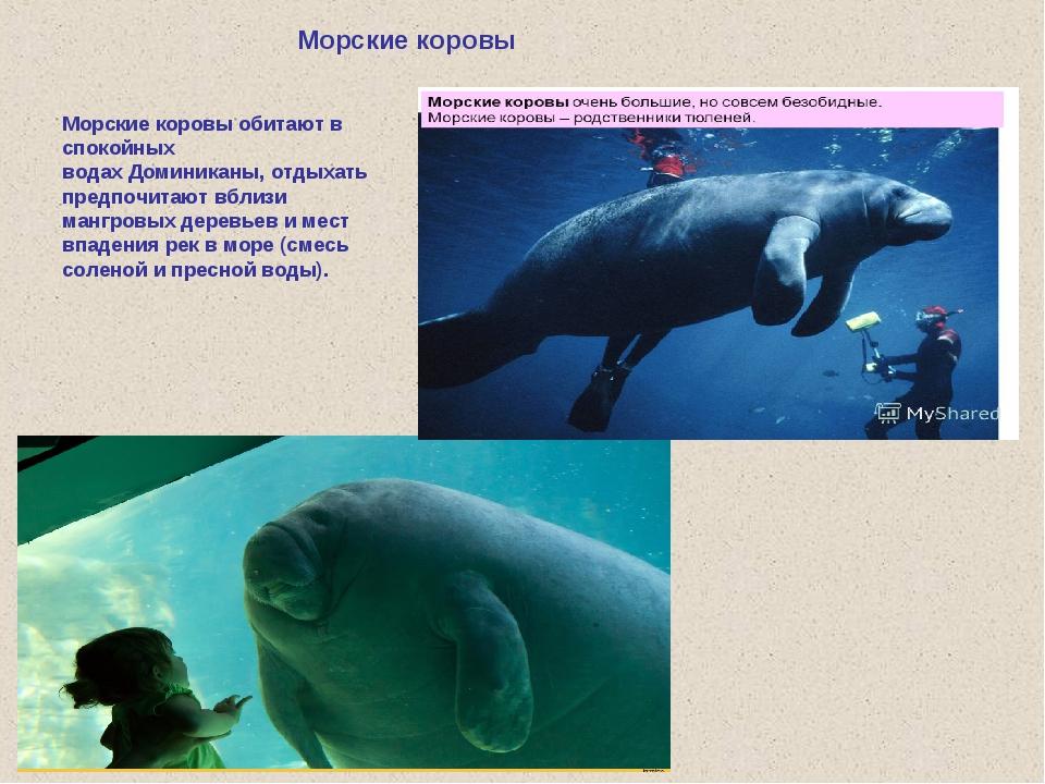 Морские коровы Морские коровы обитают в спокойных водахДоминиканы, отдыхать...